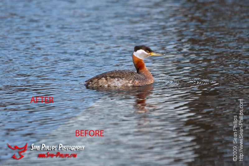Red-necked Grebe at Carburn Park